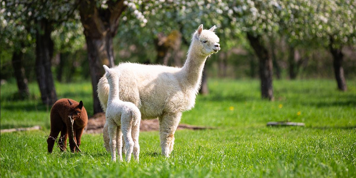 Na zdjęciu widnieje biała puchata alpaka wraz z dwójką potomstwa w miejscowości Bocianowo. Małe alpaki dzielnie stoją przy mamie, a dookoła panuje wiosna - soczysta trawa i kwitnące drzewa.