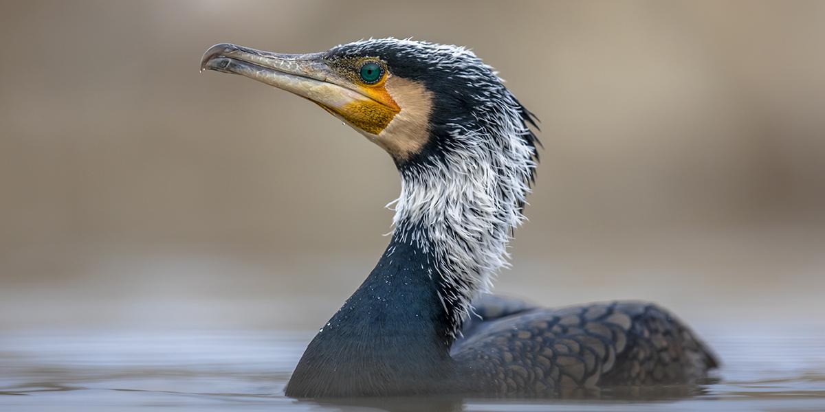 Sylwetka kormorana pływającego po jeziorze, wykonana z  profilu z bardzo bliskiej odległości.