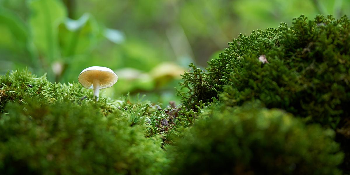 Zdjęcie ukazuje zbliżenie flory leśnej. Pośrodku soczyście zielonego mchu rośnie biały grzybek.