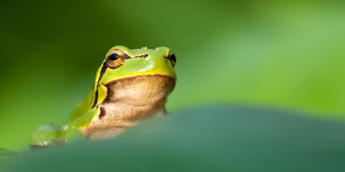 Głowa rzekotki drzewnej (dla większości pospolicie żaba) jednego z gatunku płaza posiadające w górnej części ciała zielone ubarwienie z ciemną pręgą na głowie. Od spodu brązowe ubarwienie. Tło obrazu zielone.