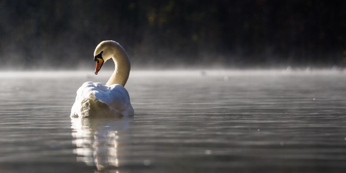 Samotny pływający po jeziorze łabędź.