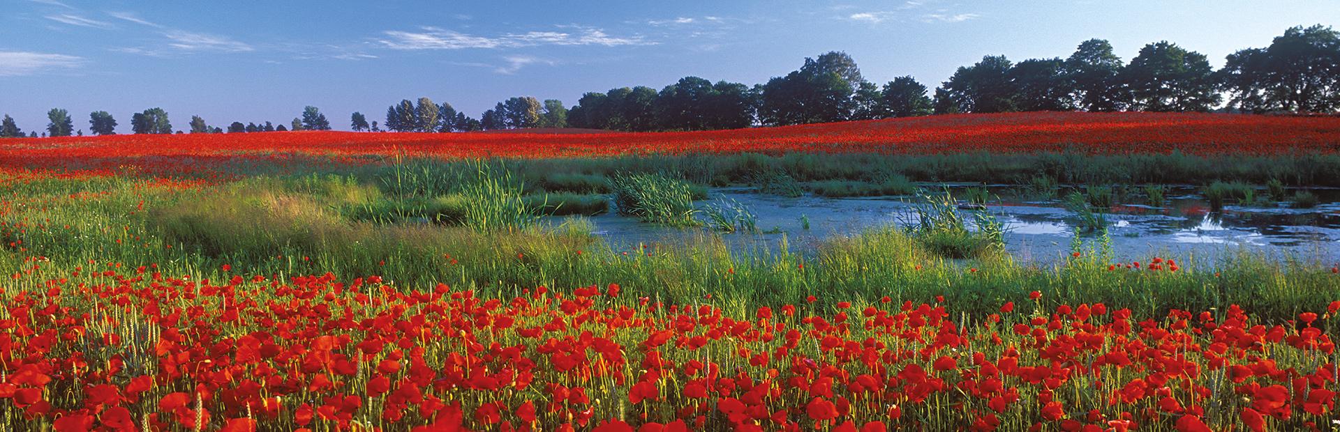 Zdjęcie przedstawia pole maków a pośrodku pola mały staw.