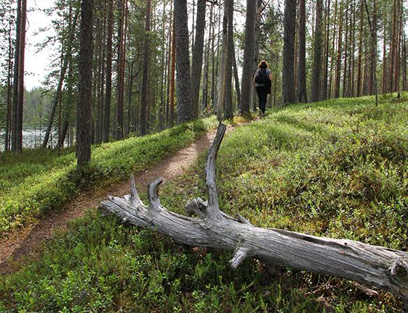 Zdjęcie przedstawia pieszą ścieżkę w lesie w miejscowości Jabłoń, którą spaceruje ubrana na sportowo kobieta. W oddali widać fragment jeziora. Na ziemi leży wyschnięty siwy konar drzewa.