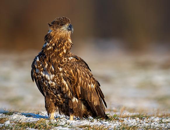 Zdjęcie pokazuje orła stojącego na oszronionej trawie. Orzeł ma wysoko uniesioną głowę, a bystrym wzrokiem rozgląda się dookoła. Jego pióra mają białobrązowy kolor.