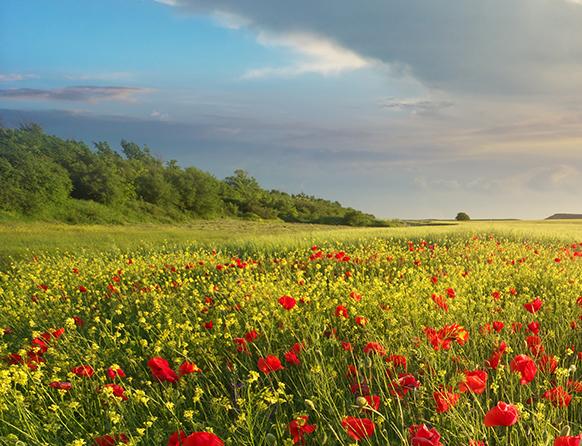 Widoczna łąka rozciągająca się aż po horyzont zdjęcia, porośnięta licznymi kwiatami maków a na skraju łąki po prawej stronie wyrasta las liściasty.