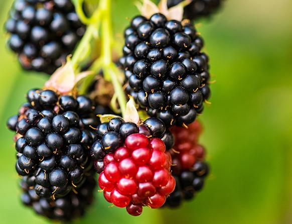 Na pierwszym planie zdjęcia, dwie kiście owoców w kolorze czarnym i jedna w czerwonym, wiszące na łodydze rośliny.