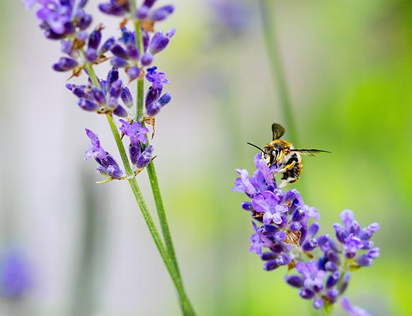 Na zdjęciu dwie rośliny kwiatowe koloru fioletowego na jednym z nich siedzi osa, owad i szuka na pąkach kwiatów pożywienia nektaru rośliny.