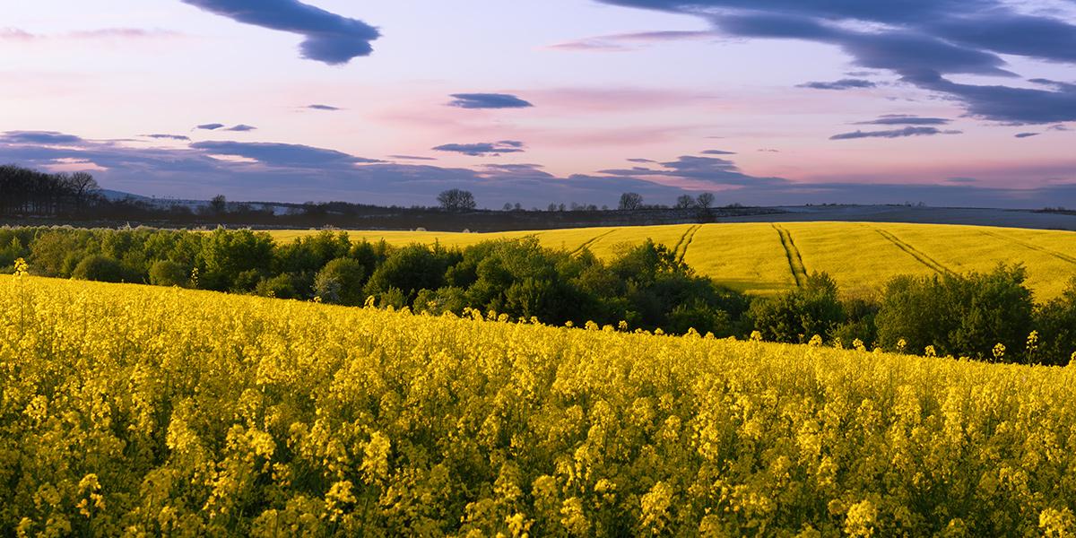 Pola żółtych kwiatów, przedzielone lasem na tle błękitnego nieba.