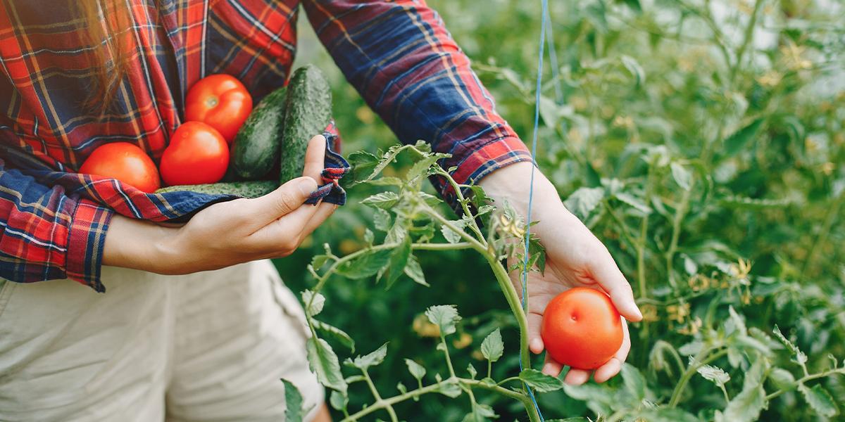 Ogrodnik zrywający świeży pomidor z krzaka i chowający warzywa w zwiniętej koszuli. Oprócz pomidorów są także schowane wcześniej zerwane w koszuli ogórki gruntowe.