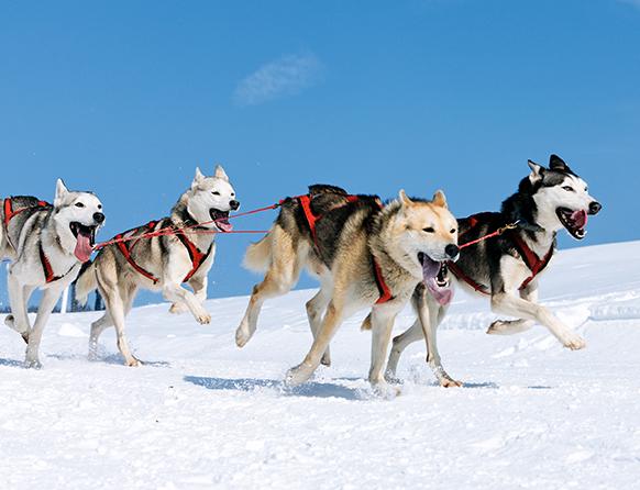 Zdjęcie pokazuje biegnący psi zaprzęg składający się z czterech psów o różnej maści. Psy mają czerwone uprzęże, otwarte paszcze z latającymi na boki językami a biegnąc wyglądają na szczęśliwe.