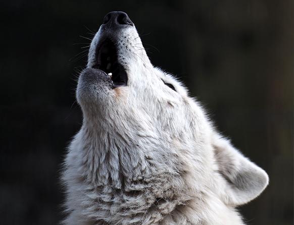 Zdjęcie pokazuje głowę białego wilka wyjącego w stronę nieba. Sierść wilka jest gęsta i lśniąca.
