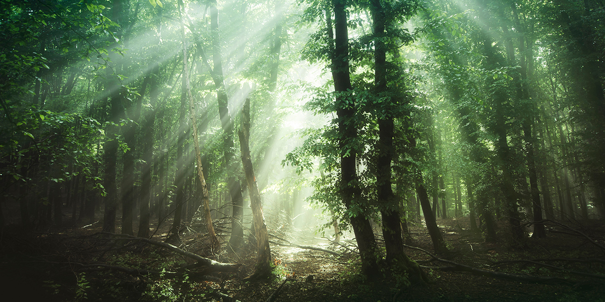 Liściasty, zielony las latem z rozchodzącymi się pomiędzy drzewami promieniami słońca.
