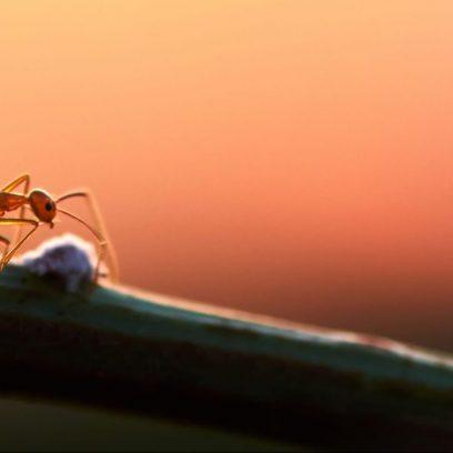 Zdjęcie przedstawia mrówkę idącej po łodydze rośliny.