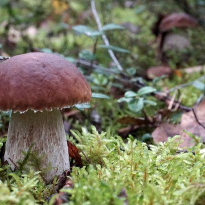 Zdjęcie grzyba prawdziwka rosnącego w lesie pośród mchu i liści.