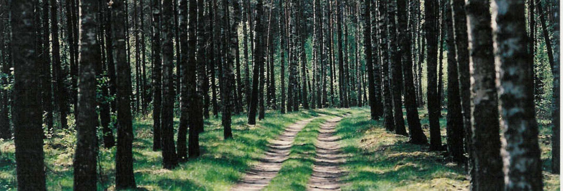 Zdjęcie drogi leśnej biegnącej wśród lasu brzozowego.