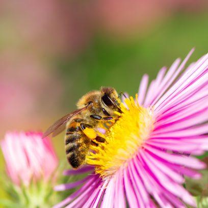 Zdjęcie pszczoły miodnej zbierającej nektar z różowego kwiatku.