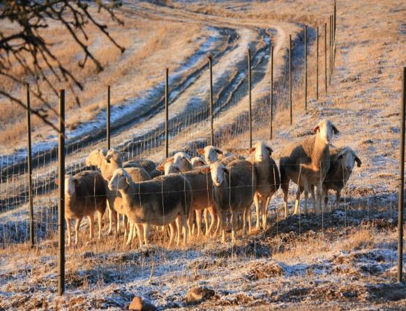 Na zdjęciu stado owiec w Gospodarstwie Owczarnia Lefevre położonym we wsi Kiersztanowo.