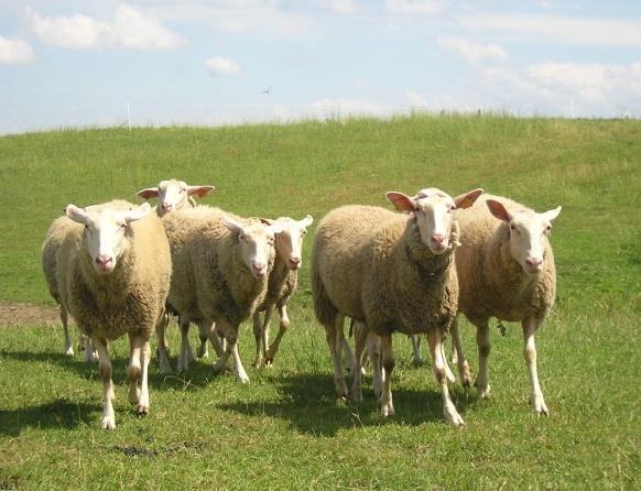 Na zdjęciu stado owieczek na łące, Ranczo Frontiera w Warpunach.