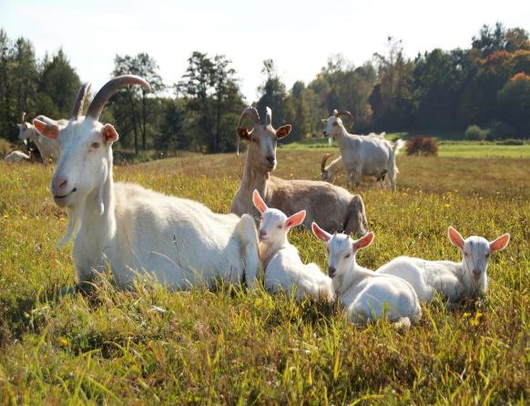 Na zdjęciu stado kóz - Kozia Farma Złotna.