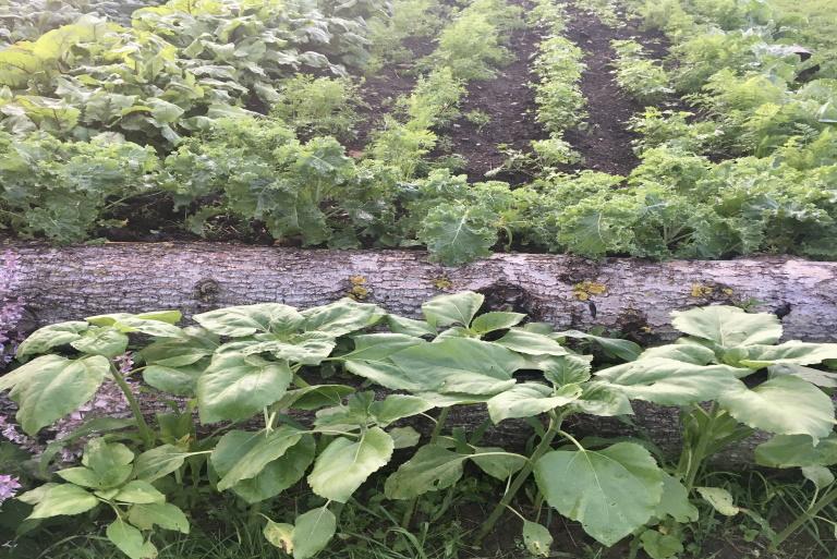 Ogród warzywny w gospodarstwie ekologicznym. Na zdjęciu sałata i inne warzywa.